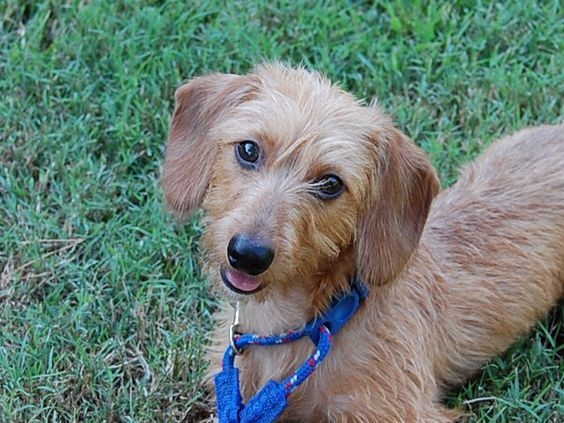 Cute Wire Haired Dachshund Hairstyle