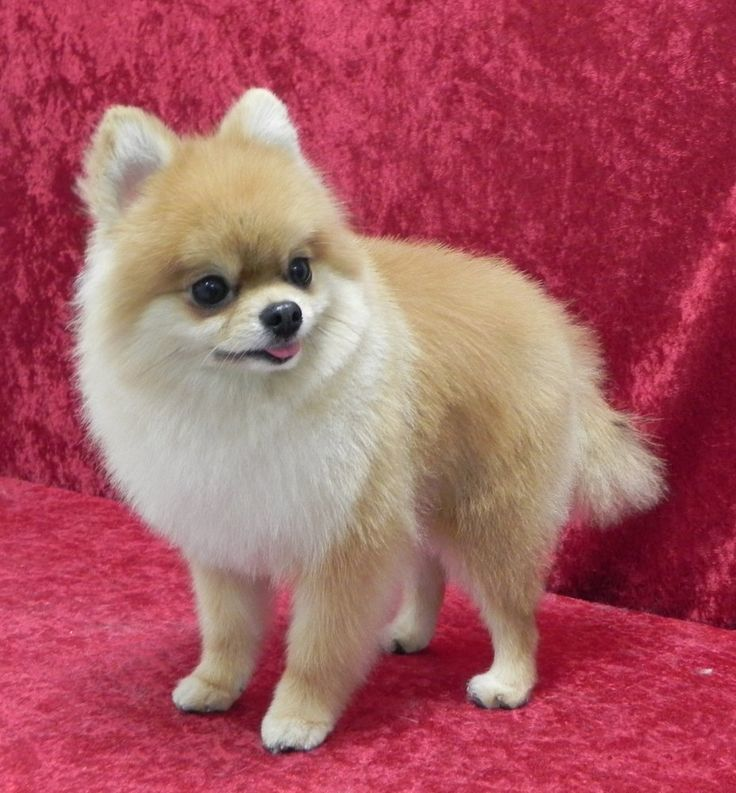 puppy cut pomeranian 25 pomeranian haircuts for dog lovers hairstylec 6061