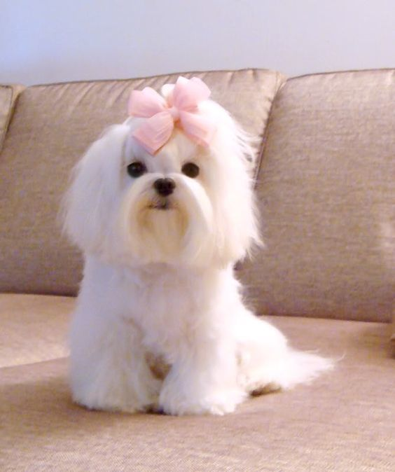 Can A Maltese Dog Have Curly Hair