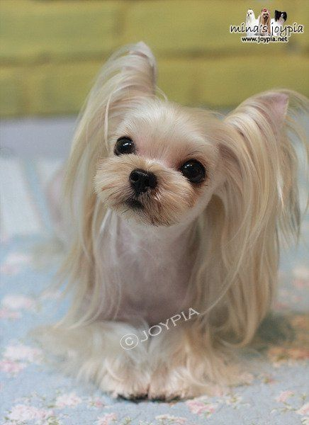 50 damn cute yorkie haircuts for your puppy hairstylecamp. Black Bedroom Furniture Sets. Home Design Ideas