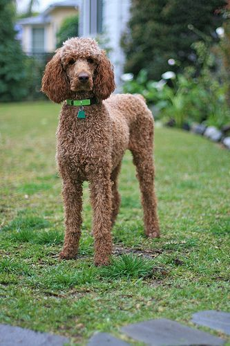 If you are running out of poodle hairstyle ideas or think that you are short on time, consider this classical cut. All you need to do is trim the hair to be ...