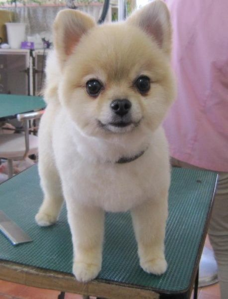 25 Pomeranian Haircuts for Dog Lovers - HairstyleCamp