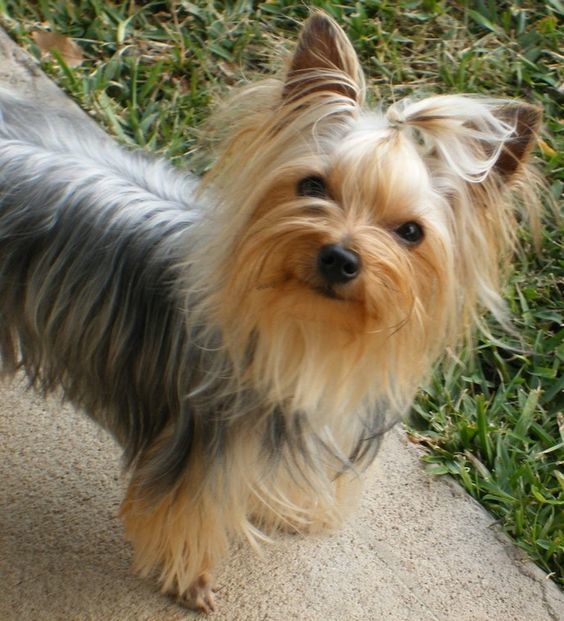 how to cut yorkies hair around the face