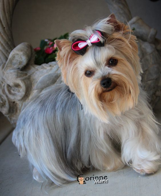 Yorkie Hairstyle with Oval face