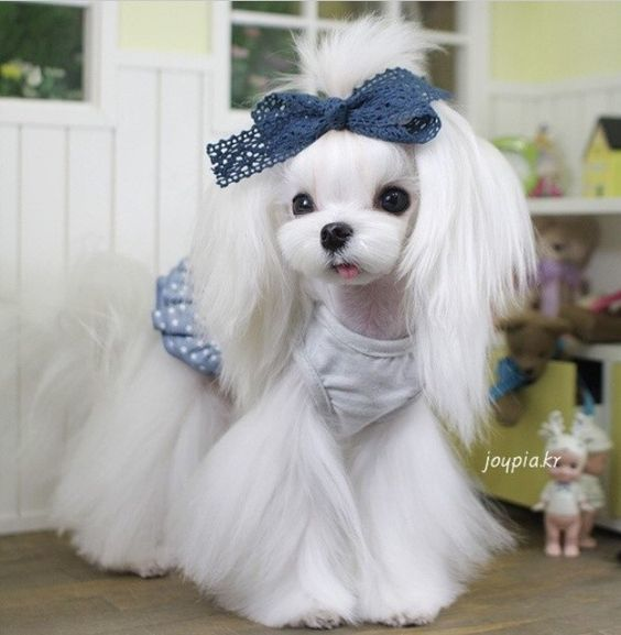 35 Cutest Maltese Haircuts For Your Little Puppy Hairstylecamp