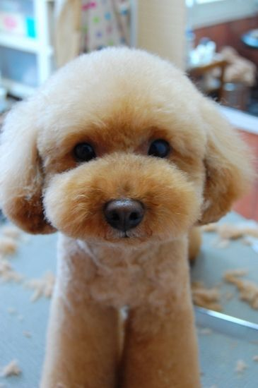 30 Poodle Haircuts You Ll Definitely Love Hairstylecamp