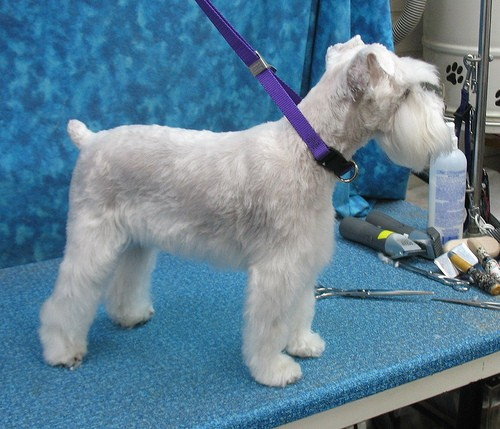 7 Pageant Worthy Schnauzer Dog Haircuts Hairstylecamp