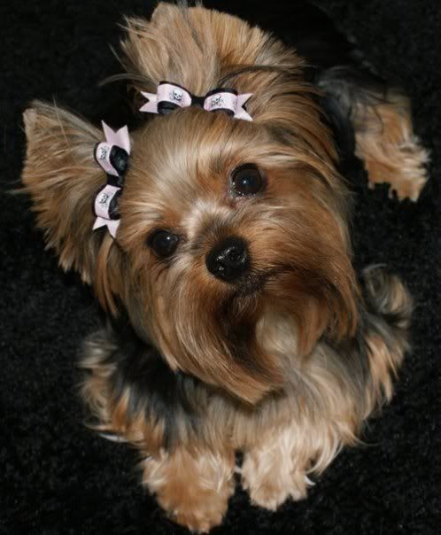 brown Ear ponytails hairstyle your Yorkie