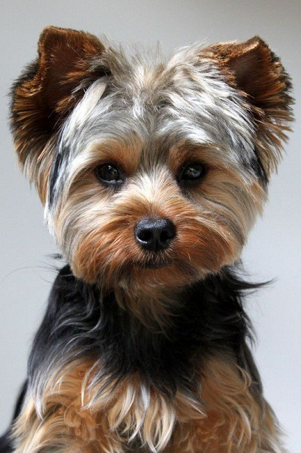 Short Haircuts Yorkies