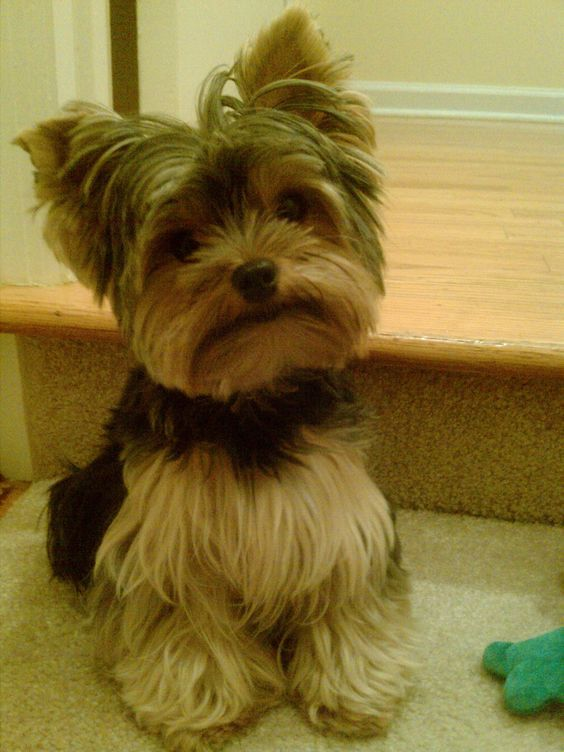 Layered cut for cute Yorkie