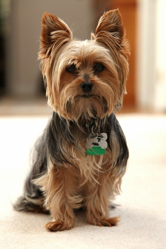 Yorkie Haircuts Styles Pictures - Best Hair Cut Ideas 2017