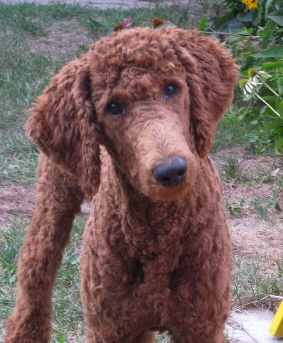 Curly friend Poodle hairstyle