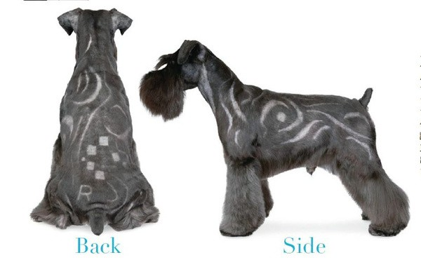 If You Are Bored With The Clic Schnauzer Haircuts Can Enjoy Amazing Hair Designs Since Cut Dog S Body Very Short Anyway