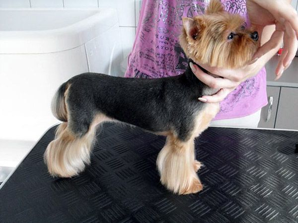 50 Damn Cute Yorkie Haircuts For Your Puppy Hairstylecamp
