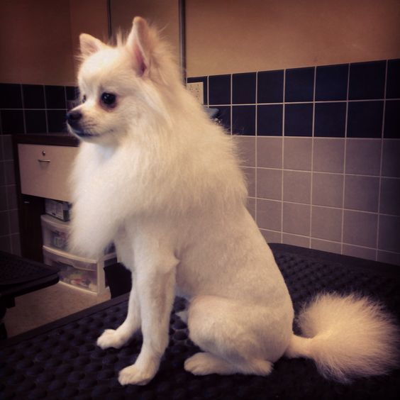 35 Best Pomeranian Haircut Ideas For 2021