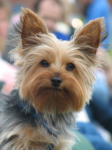 yorkie faces 50 damn cute yorkie haircuts for your puppy hairstylec 6475