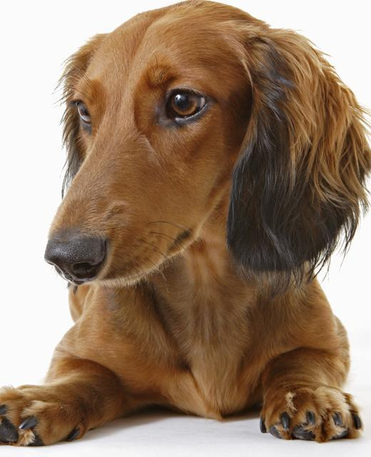 Dachshund miniature long haired 15 interesting facts 9 winobraniefo Gallery
