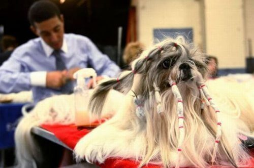 funniest dog Ponytail haircuts
