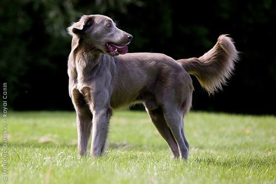 15 Useful Long Haired Weimaraner Care Pointers 2020
