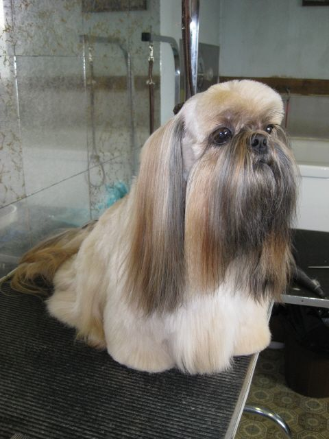 20 Adorable Shih Tzus with Stunning Haircuts – HairstyleCamp