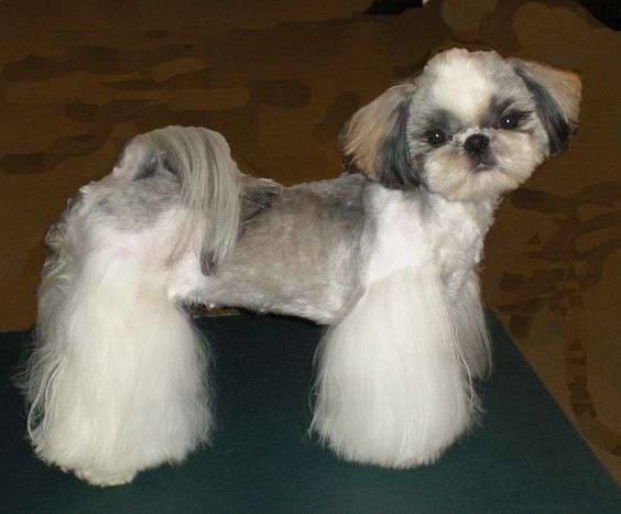 20 Best Shih Tzu Haircuts (2020 Guide) – Hairstyle Camp