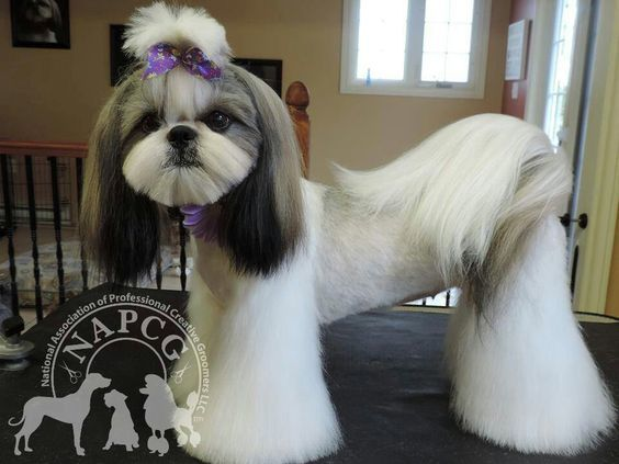 shih tzu semi lion hairstyle