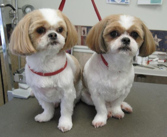 new haircut for shih tzu
