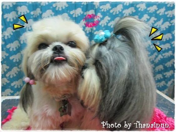 20 Adorable Shih Tzus With Stunning Haircuts Hairstylecamp