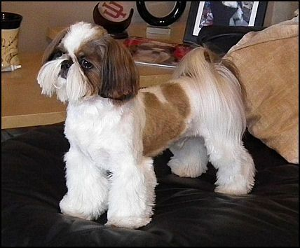 shih poo haircut styles 20 adorable shih tzus with stunning haircuts hairstylec