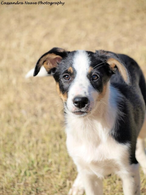 short haired border collie 8