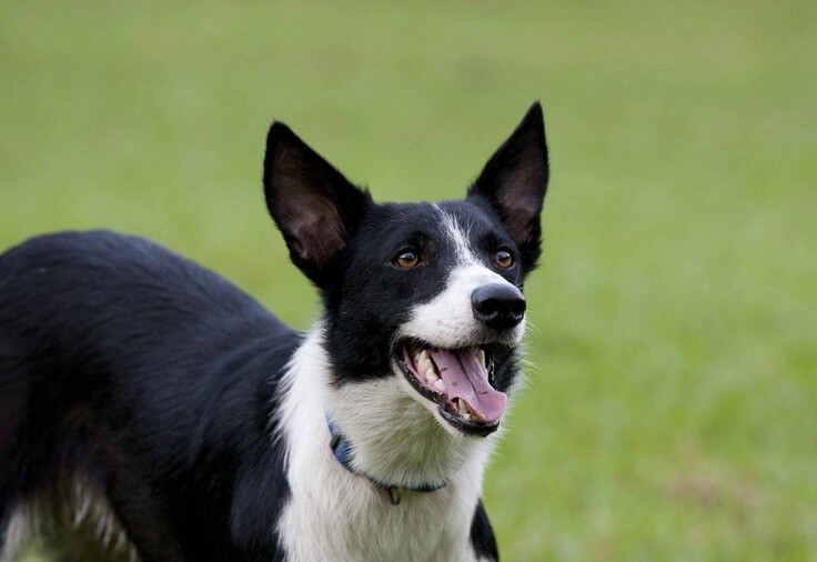 short haired border collie 9