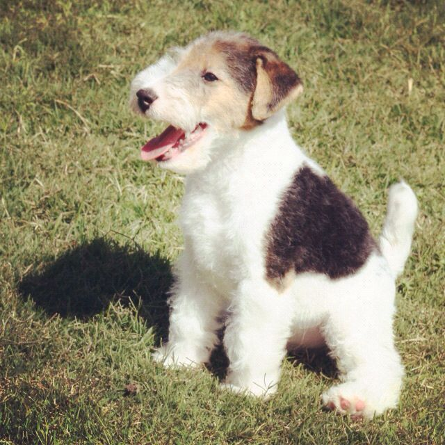 wire haired terrier 13