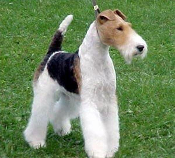 15 Wire Haired Fox Terrier Grooming Tips You Must Know
