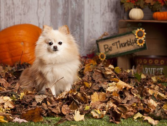 25 Pomeranian Haircuts For Dog Lovers Hairstylecamp