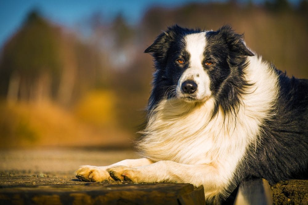 Working Border Collie Then There Is The Coat Texture It Can Be Fine Silky Soft Hair Or A Think Co And Once Again Are