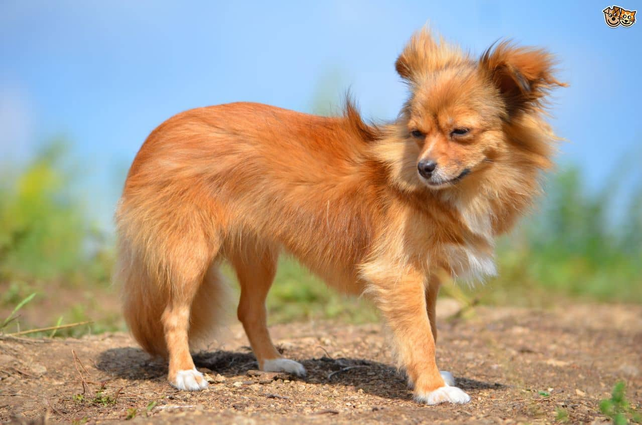 Long Haired Chihuahua Puppies 15 Grooming Tips For Better