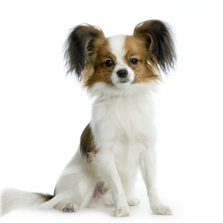 Long Haired Chihuahua Puppies 15 Grooming Tips For Better Health