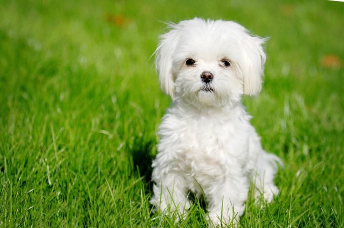 What does a maltese puppy look like