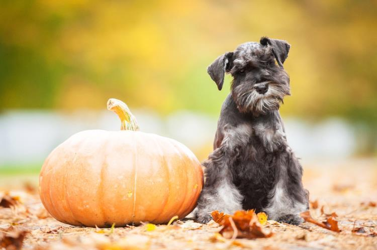 15 Of The Cutest Schnauzer Dog Haircuts We Love