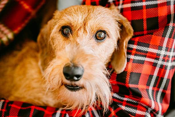 wire haired dachshund 10 character traits to know
