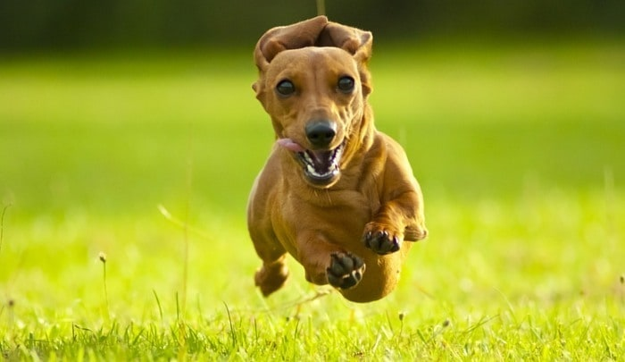 7 Wire Haired Dachshund Care Tips For Future Owners