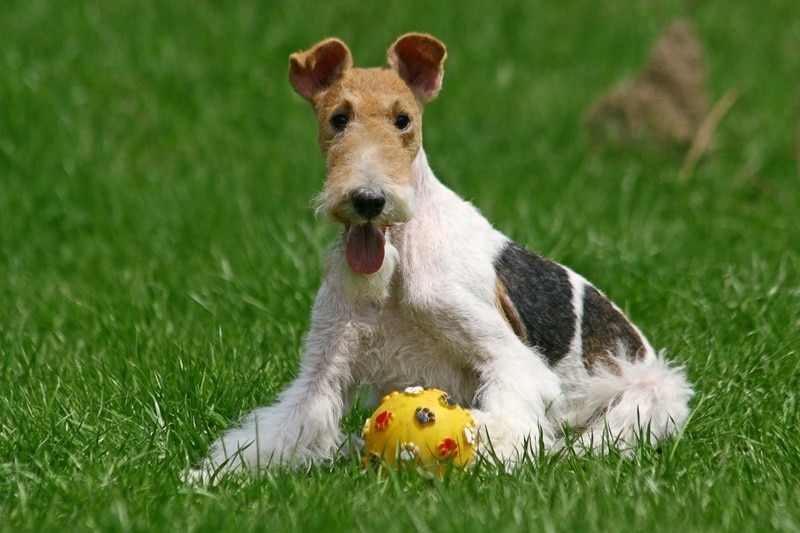 15 Wire Haired Fox Terrier Grooming Tips Hairstylecamp
