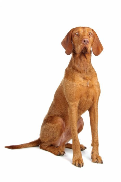 Wirehaired Vizsla dogs