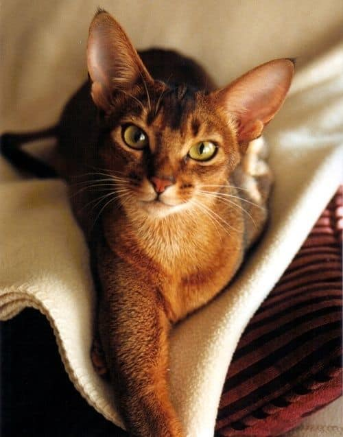Egyptian cat haircut