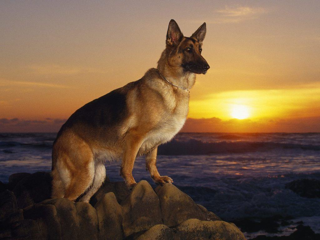 15 Witty Pointers For Short Haired German Shepherd Owner