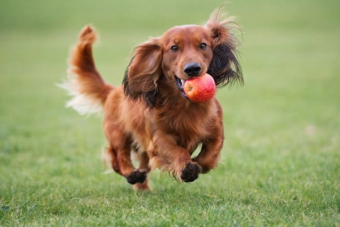 Dachshund Miniature Long Haired 15 Interesting Facts