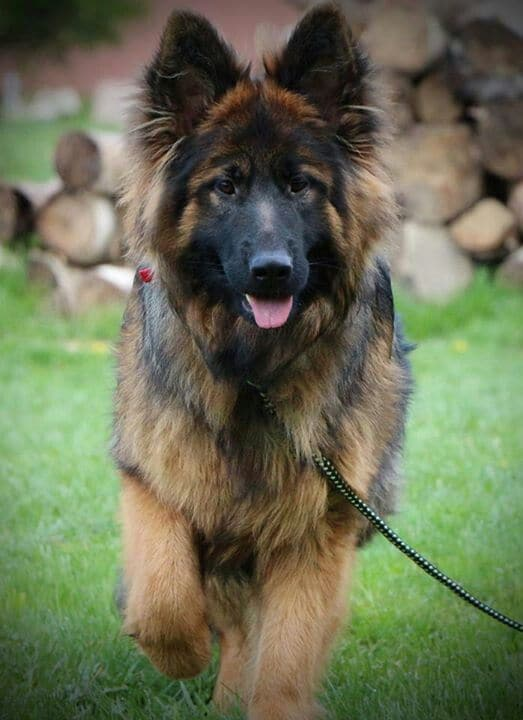shepherd german haired shepherds dogs hair puppies dog puppy tips grooming know coat retriever gsd golden sable looks those gingers