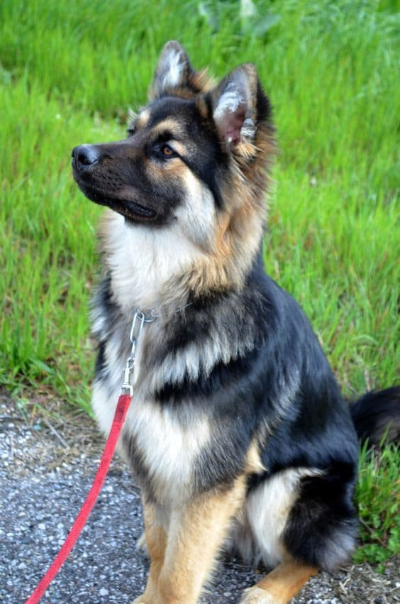 9 Grooming Tips For Long Haired German Shepherd Hairstylecamp