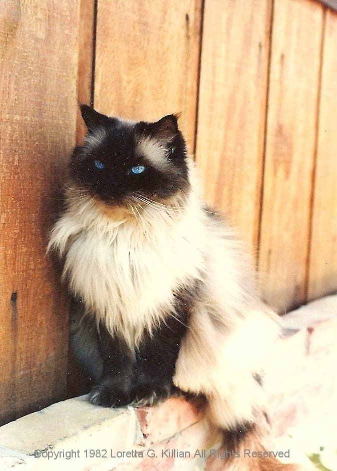 8 Grooming Tips For Long Haired Siamese Cats Hairstylecamp