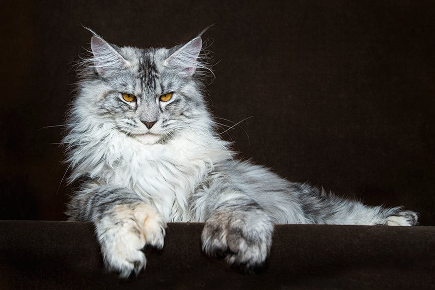 10 Purrisitable Long Hair Cat Breeds You Cant Help But Love